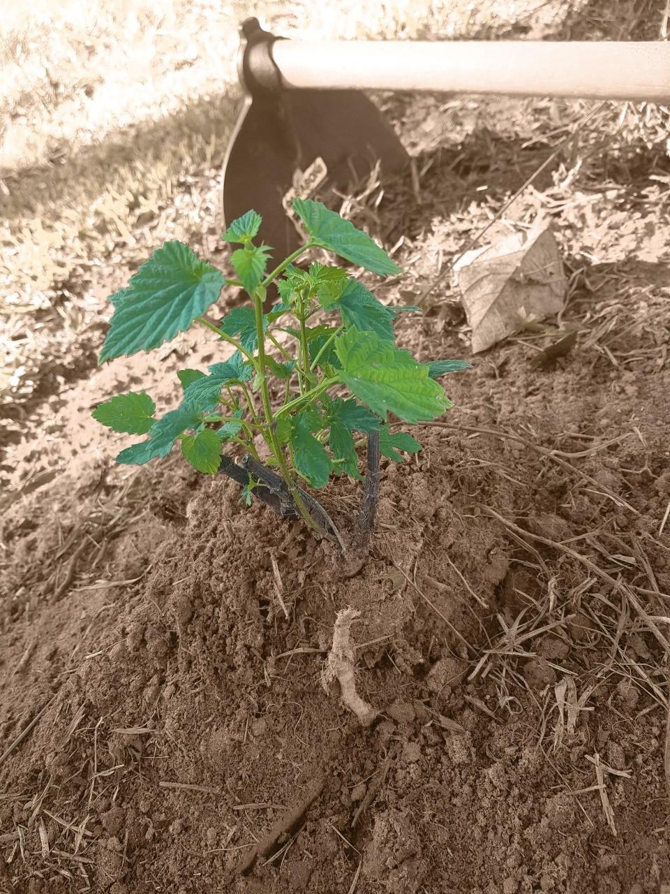Plantação de Lúpulo